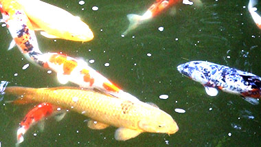 Koi swimmingly serene